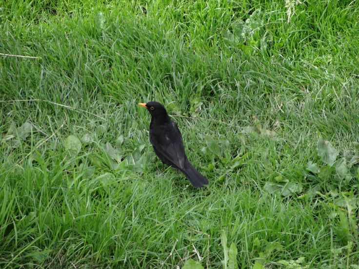 Common Blackbird / Svarttrost / Turdus merula. York, Great Britain. June 2014