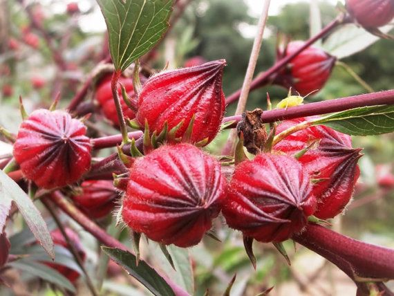 1600 Seeds 100 grams Roselle Hibiscus sabdariffa by seedsshop
