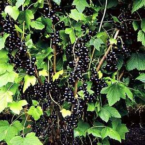 Blackcurrant. Just pruned a huge old bush and can't wait for the bigger harvest.