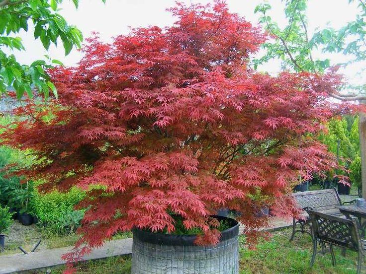 érable du Japon en jardinière Dissectum Atropurpureum à feuillage rouge