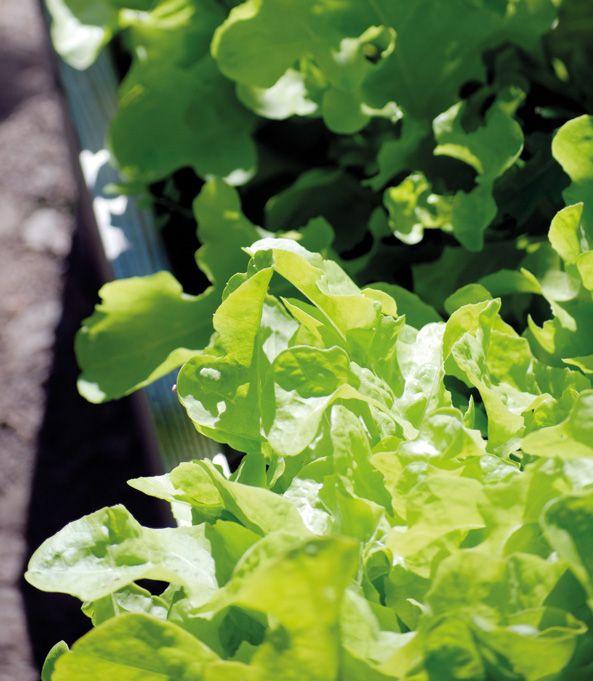 Weibulls - Köksträdgården, odla sallat i pallkrage.