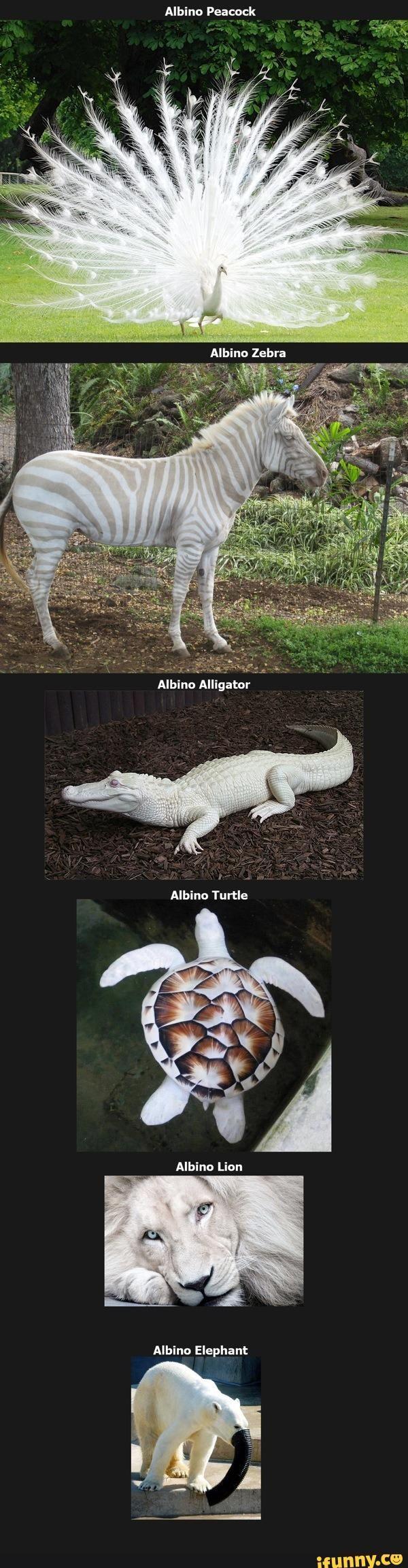 albine, animals