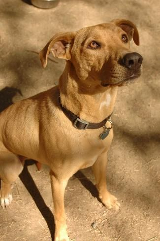 COCO is an adoptable Labrador Retriever searching for a forever family near Point Richmond, CA. Use Petfinder to find adoptable pets in your area.
