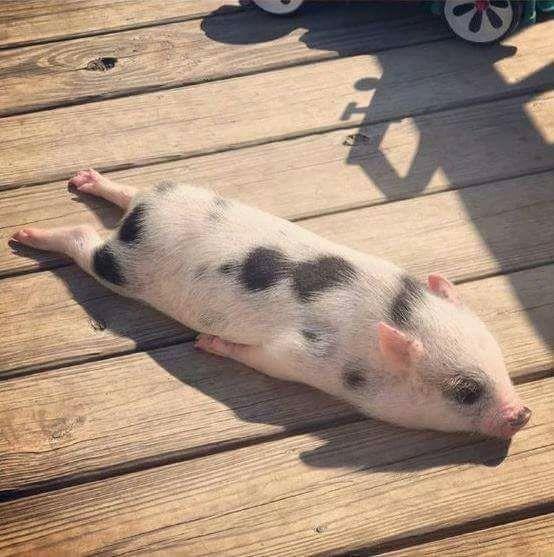 A piggy sunbathing