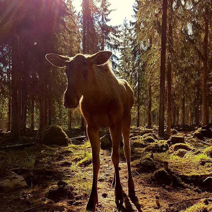 Moose - Älgparken Ockelbo (@algparken) on Instagram