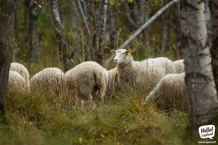 Cute little sheep that live on Koivusaari island in Rovaniemi.