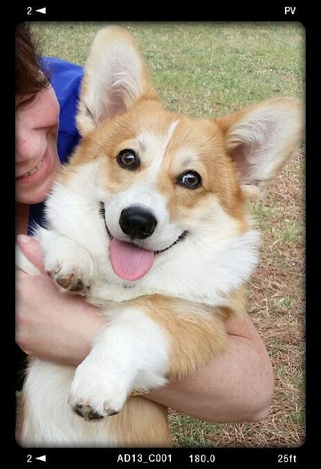 My happy corgi :-)
