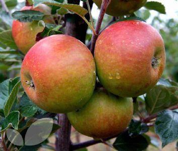Recette franc comtoise de crapets aux pommes, une galette plate ou crêpe très épaisse que l'on trouve notamment dans la vallée de la Saône et en Haute Saone