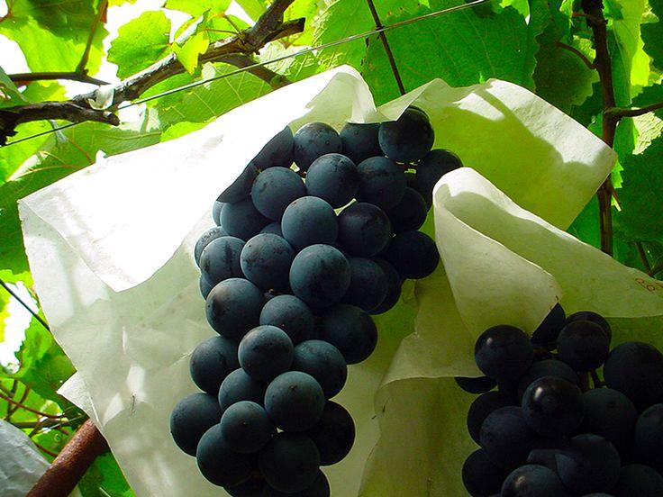 Grapes grown in the Fuefuki Wine (Fuefuki, Yamanashi pref.)