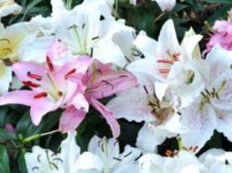 Удобрение лилий - Садоводка
