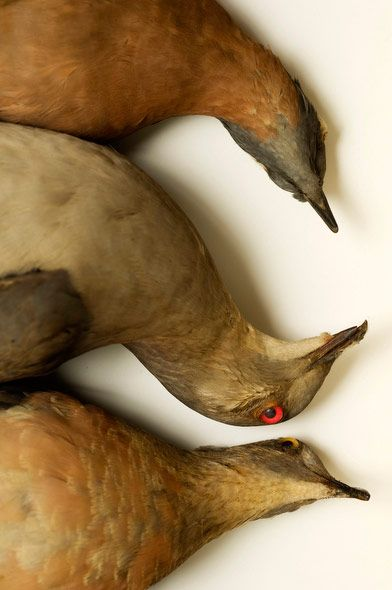 Passenger pigeons, extinct. Study of mass extinctions by Marc Schlossman