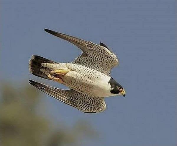 O mergulho de um falcão-peregrino em direção à sua presa pode alcançar a velocidade de 320km/h.