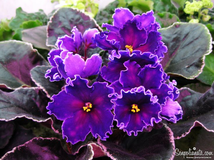 10eea925528370e2e18714e5e1f35dd3--saintpaulia-african-violet Red Vining Houseplants on flowers red, orchids red, pots red, ornamental grasses red, peppers red, design red, nature red, cactus red, berries red, mums red, animals red,