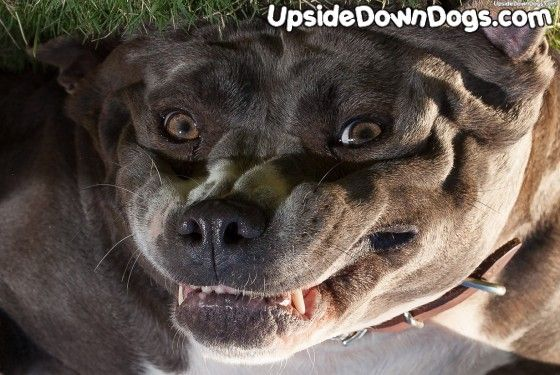 Loosie Goose the Blue Nose Pitbull - Funny Pictures of Puppy Dogs Upside Down