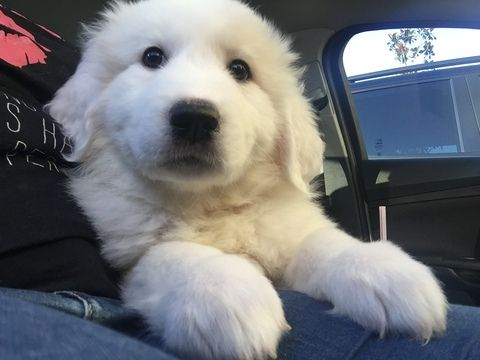 Litter Of 4 Great Pyrenees Puppies For Sale In Orlando Fl Adn