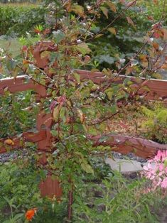 American plum trees
