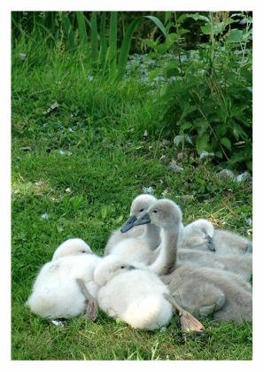 Zwanen kuiken, swan ducks. Kaartje2go - creagaat dieren