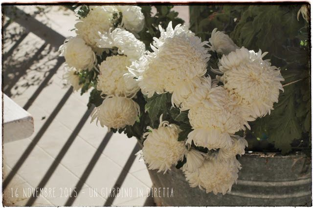 In diretta dal giardino: fiori di novembre, Crisantemo (chrysanthemum morifolium) Leggi di più nel blog!  #balcone #giardinoindiretta #novembre #fiori