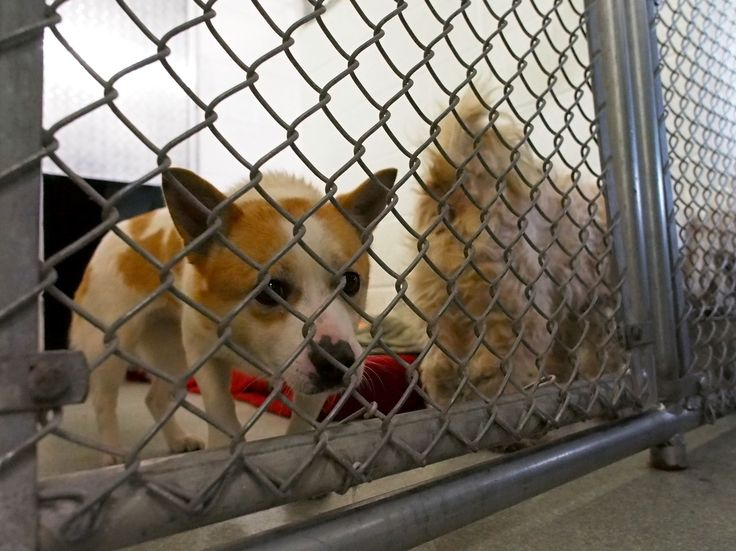 A dog rescued from a dog meat farm in South Korea arrives at the Animal Welfare League of Alexandria... Dogs bred for meat in S.Korea start new life in US