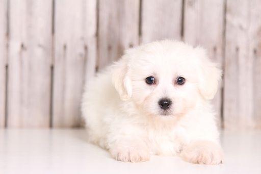 Zuchon puppy for sale in MOUNT VERNON, OH. ADN-32484 on PuppyFinder.com Gender: Male. Age: 8 Weeks Old