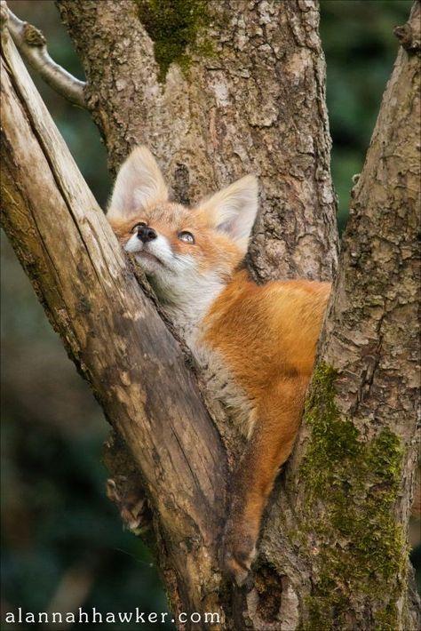 Fox   Vixen   Tod   Renard   лисица   Zorro   狐   Sionnach   Volpe   Fox by Alannah Hawker