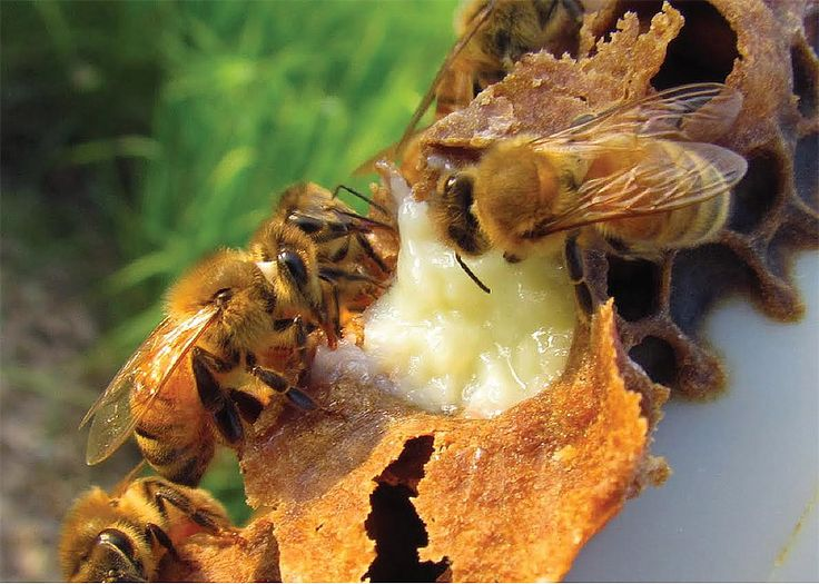 Royal Jelly - Health Benefits #royaljelly #superfoods #nutrition #diet #healthyeating #healthyfood #food #healthtips
