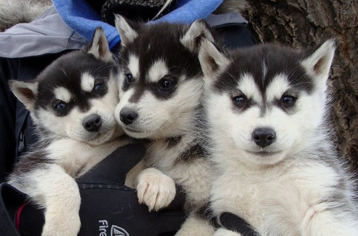 Siberian Husky Breeders Canada For Sale Dog Puppies Sledding Snowdogs Eight Below Animal Actors Mushing>  Breeder
