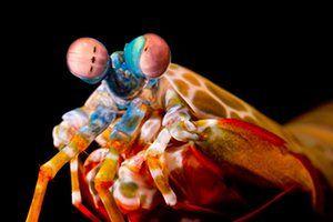 The incredible eyeball rolling mantis shrimp
