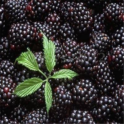 Black-Mulberry-Tree-Bush-Fruit-Morus-Rubra-Morus-Alba-Seeds-With-Edible-Fruit