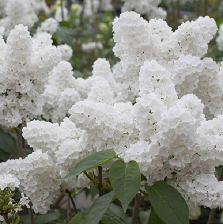 Flores blancas                                                                                                                                                                                 Más