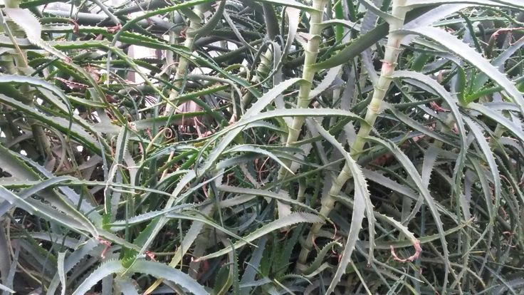 Aloe:) #herbs #herbal #ziola #nature #przyroda