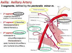Axillary artery branches... 【 Axillary artery is divided into 3 parts by - Pectoralis minor while Subclavian artery is divided into 3 parts by Scalenes Anterior muscle 】