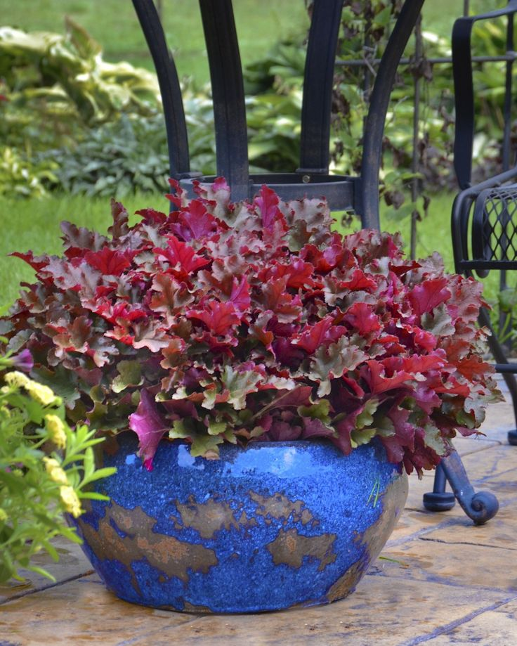 When the sun hits Dolce Cinnamon Curls heuchera you will think a small fire has ignited
