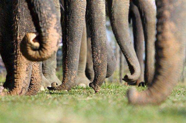 Elefante Asiático La caza de estos animales para obtener el marfil de sus dientes y colmillos es una de las principales causas del peligro que corren.