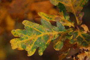 """Eklöv med bara lite """"grönt"""" kvar! Innan bladet lämnar grenen på hösten vill trädet ha så mycket näring som möjligt till stam och rötter. Den gröna färgen i lövet försvinner när klorofyllet i bladet bryts ner. """"Titta! Här finns det bara lite """"grönt"""" kvar""""! Här får du veta mer!"""