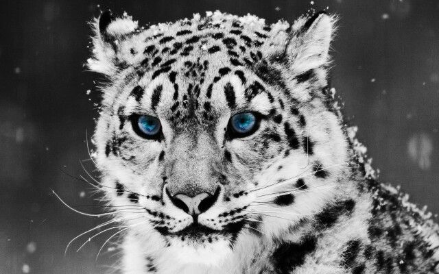 Amazing white tiger wallpaper !!