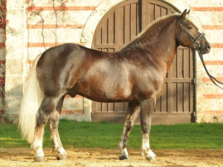 Black Forest Horse-also called Black Forest Cold Blood, rare draft breed originated in Germany, used for work in forest, pulling carriages and carts, gentle riding horse, good natured,dark chestnut with flaxen mane and tail,