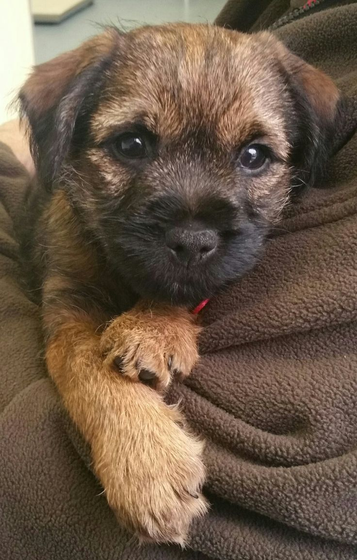 Border terrier puppy 8 weeks old