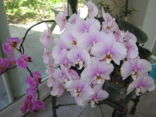 how to water and fertilize orchids in order to get them to rebloom quickly