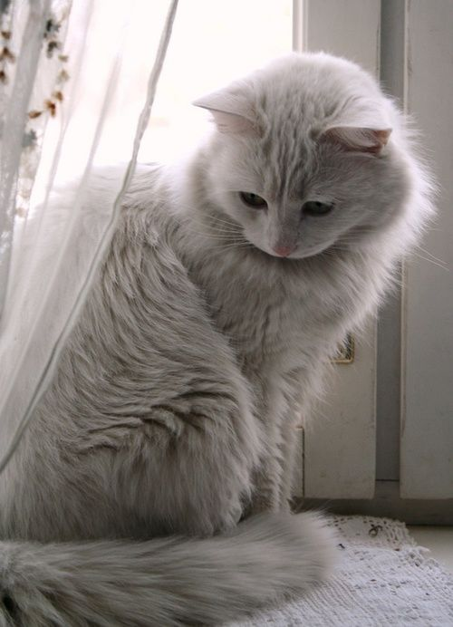 I hope I will have a fluffy kitty like this in my future home :).
