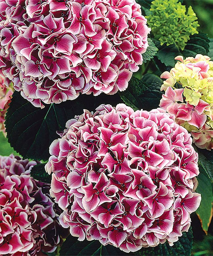Look what I found on #zulily! Live Harlequin Hydrangea Plant by Spring Hill Nursery #zulilyfinds