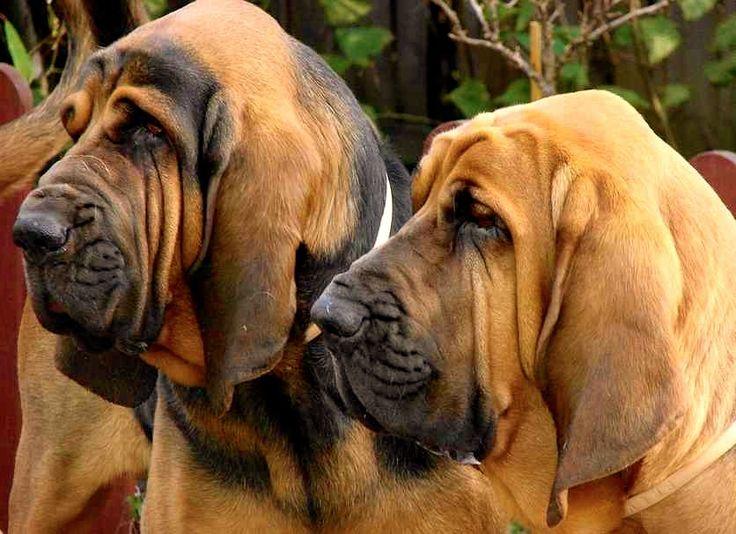 Sabuesos o Perros de Rastreo