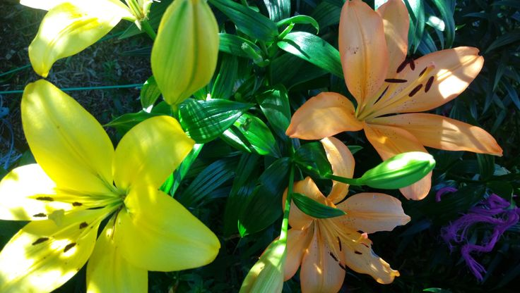 lilliums.