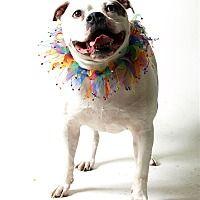 Columbus, Ohio - American Bulldog. Meet Meka, a for adoption. https://www.adoptapet.com/pet/20191223-columbus-ohio-american-bulldog-mix