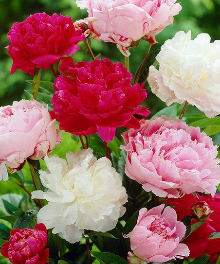 Mixed Double Peony Root - Set of Three | something special every day