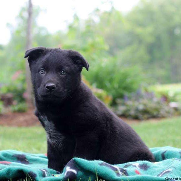 German Sheprador Puppies For Sale Greenfield Puppies Greenfield Puppies Puppies For Sale Puppies