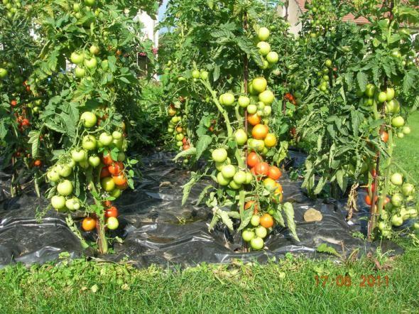 """Сорт помидоров называется ТОРНАДО, мне нравится этот сорт, помидоры не растут большие, но один в один, а главное мясистые, внутри никакой """" юшки """".   Я инженер механик и огородник любитель… Живу в Че…"""