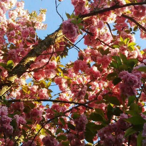 Amazing blooming Prunus