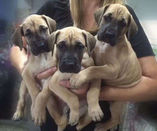Great Dane Puppies 6 weeks