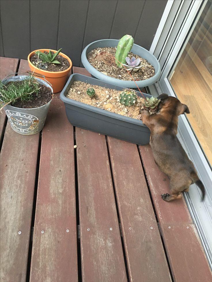 Puppy curiosity. Cactus. Succulents.